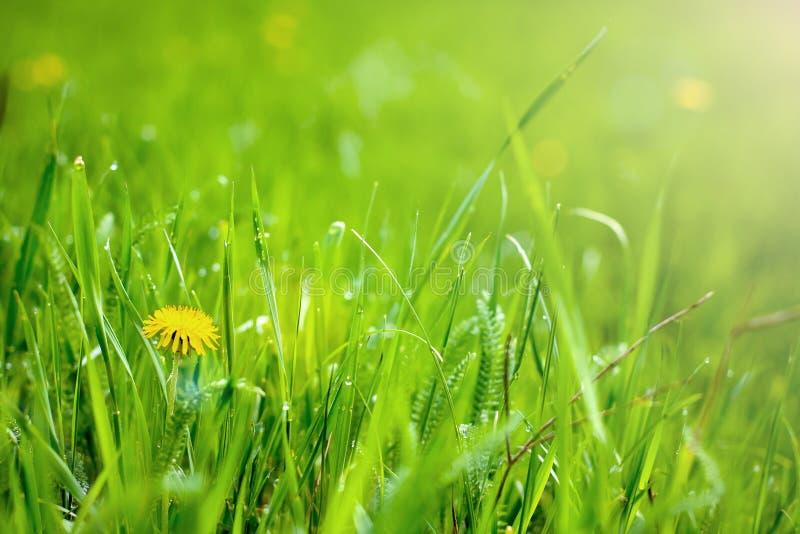 Gelbe Löwenzahnblume stockbild