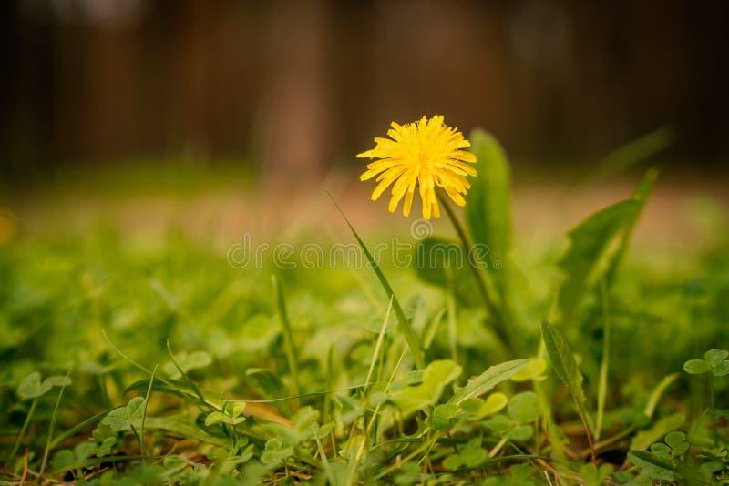 Gelbe Löwenzahnblume im Sommerwald lizenzfreies stockfoto