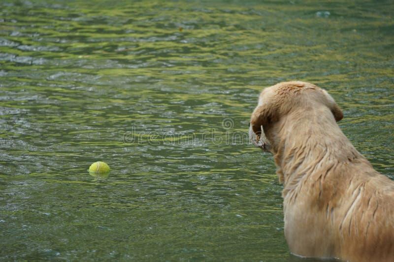Gelbe Labrador retriever-Schwimmen und spielen Tennisbälle im natürlichen Teich stockfotografie