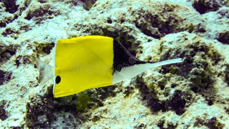 Gelbe langnasige Schmetterlings-Fische in Malediven stockfotografie