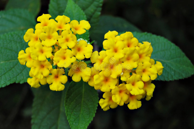 Gelbe lanthana Blumen stockbilder