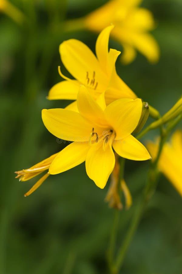 Gelbe Lilie auf einem Naturhintergrund, Abschluss herauf Schuß lizenzfreies stockfoto