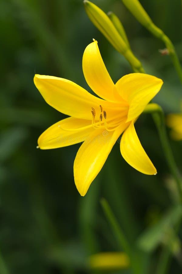 Gelbe Lilie auf einem Naturhintergrund, Abschluss herauf Schuß stockfoto