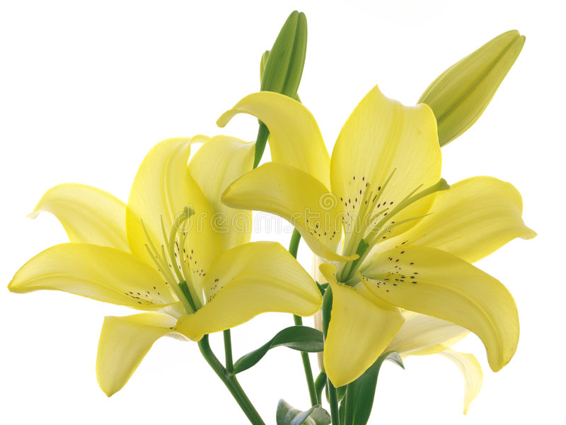 Gelbe Lilien auf einem Zweig stockfoto