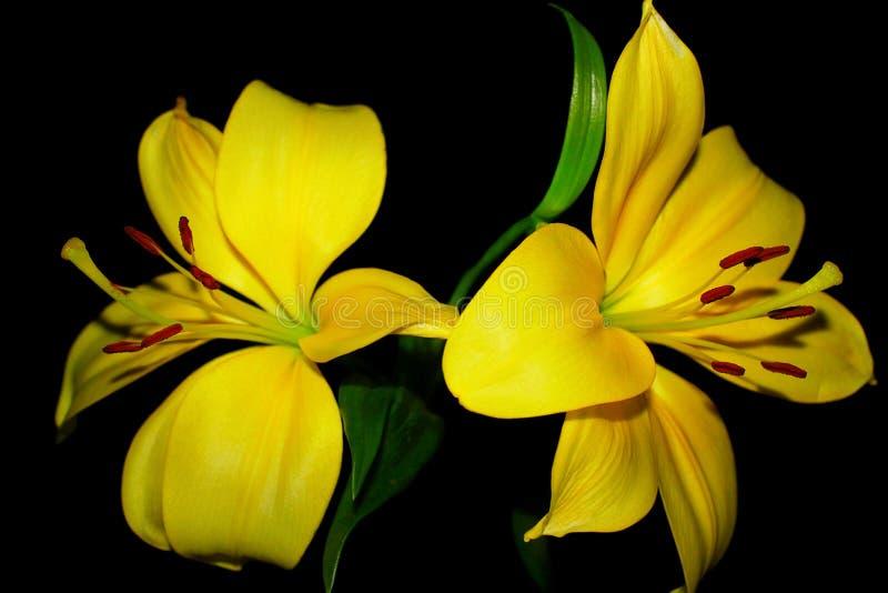 Gelbe Lilien lokalisiert auf einem schwarzen Hintergrund stockbilder