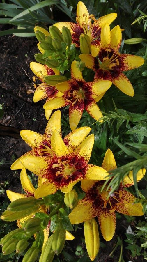 Gelbe Lilienblumen stockbild