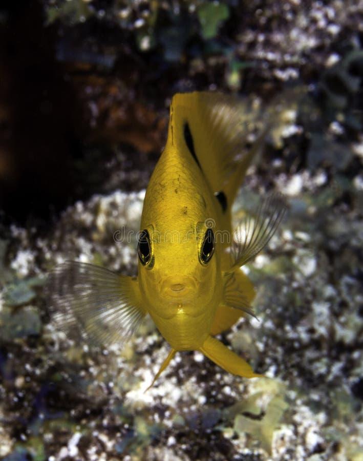 Gelbe Maid-Fischeinfassungkamera auf Korallenriff lizenzfreie stockfotos