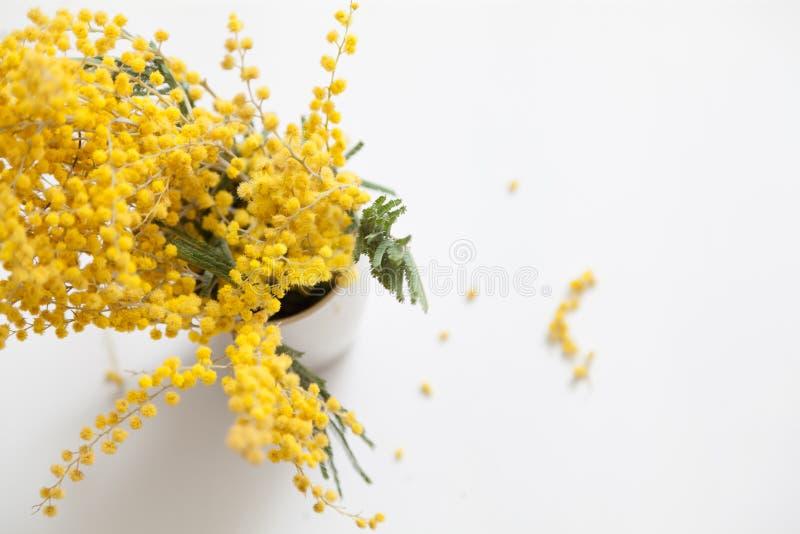 Gelbe Mimosenniederlassung in der Schale auf weißem Hintergrund stockbilder