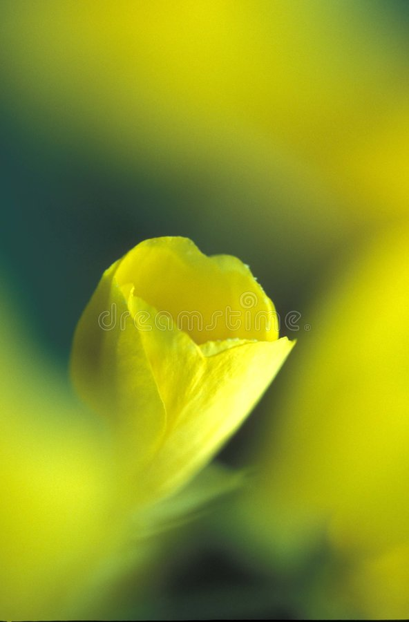 Gelbe Mohnblume Stockfotos