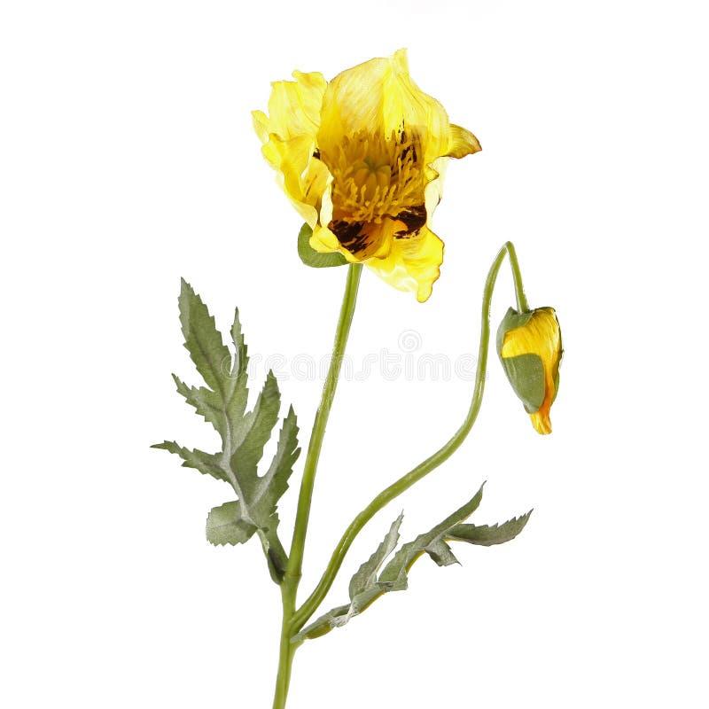 Gelbe Mohnblumenblume getrennt auf Weiß stockfoto