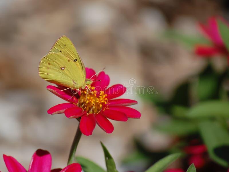 Gelbe Motte auf Blume stockbild. Bild von pink, blumen - 46052873