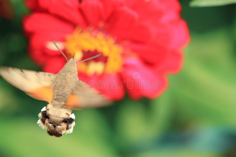 Gelbe Motte auf roter Blume lizenzfreies stockfoto