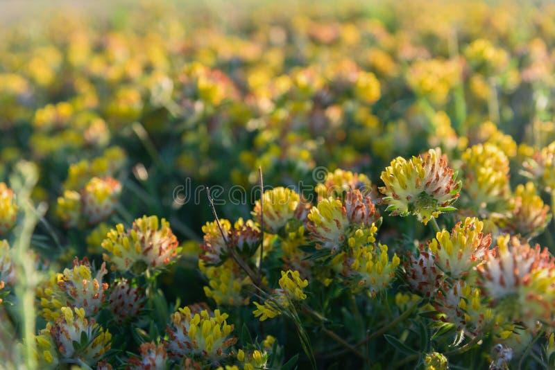 Gelbe Nahaufnahme der wilden Blumen des Wiesensonnenuntergangs stockfotografie
