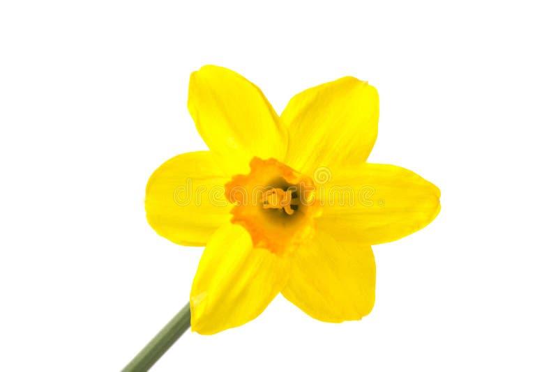 Gelbe Narzisse stockfotografie
