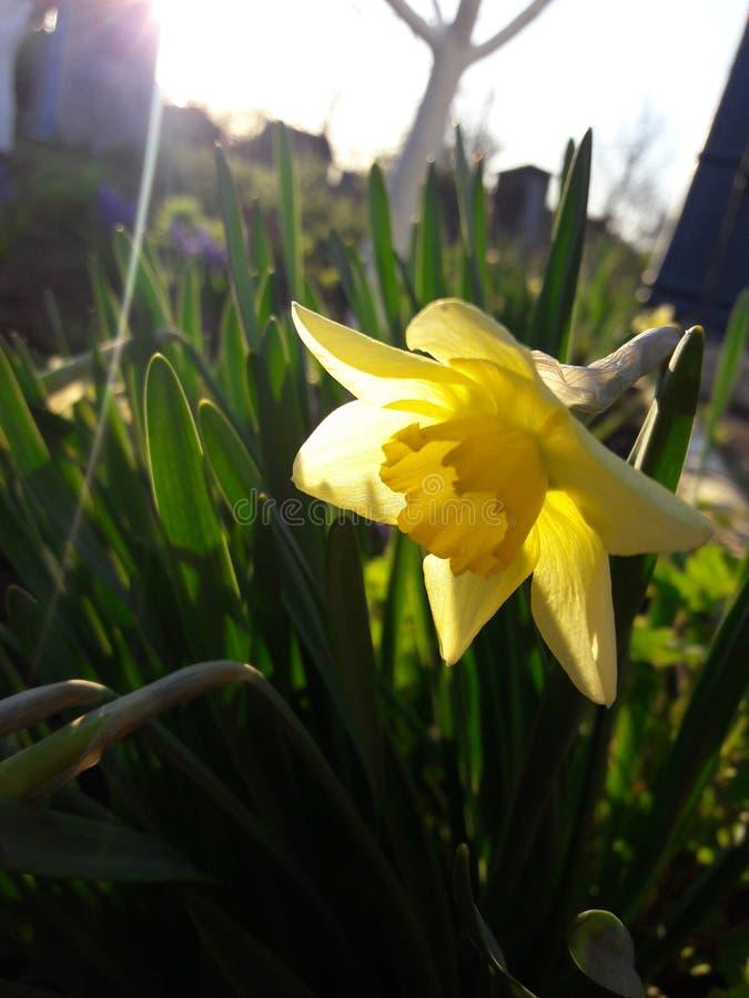 Gelbe Narzisse stockbild