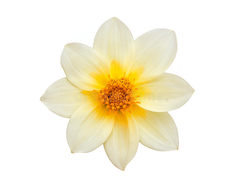 Gelbe Narzisse der Blume lokalisiert auf Weiß stockbilder