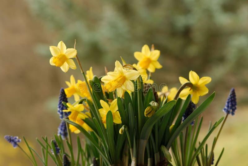 Gelbe Narzisse und blaue Muscariblumen stockbild