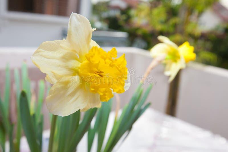 Gelbe Narzissen in einem Potenziometer lizenzfreies stockfoto