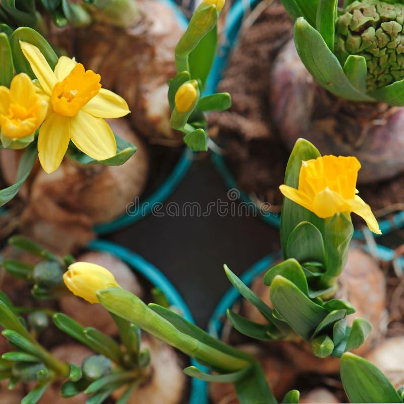 Gelbe Narzissenblumen und eine geschlossene Hyazinthe in Gartenarbeittöpfen stockfoto