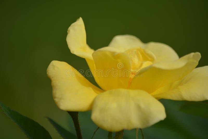 Gelbe offene knockout Rose im Garten stockfotografie