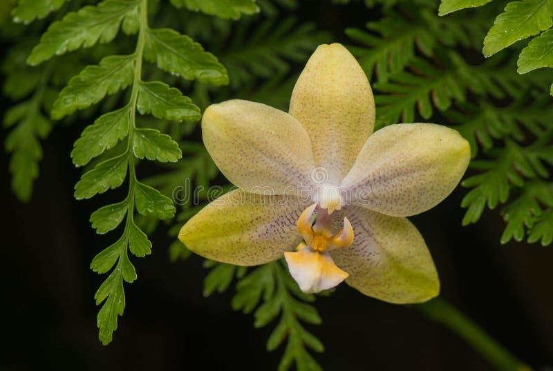 Gelbe/orange Orchidee an Longwood-Gärten, PA, USA stockfoto