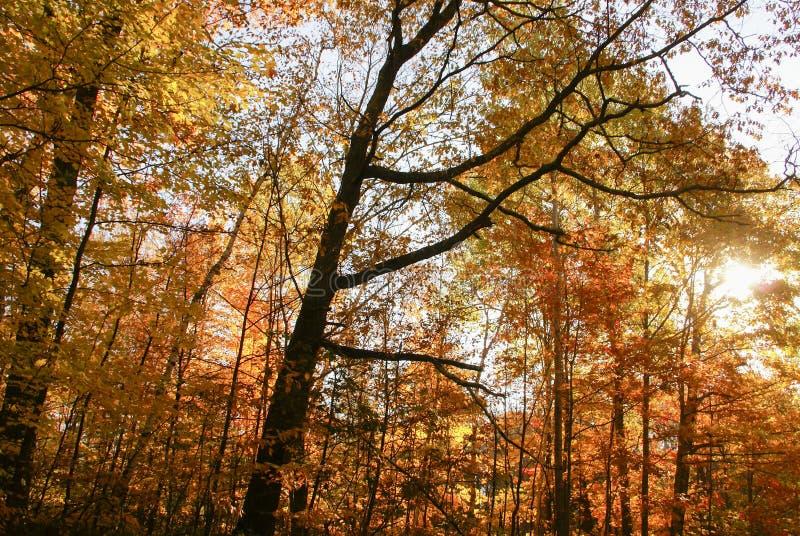 Gelbe, orange und rote Blätter des Herbstes während des Morgens mit der Sonne, die durch Bäume nahe Hinckley Minnesota scheint stockbilder