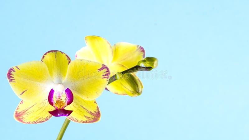 Gelbe Orchidee auf einem blauen Hintergrund Platz für Text lizenzfreie stockfotografie