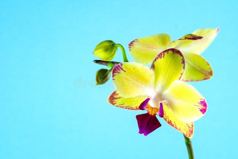 Gelbe Orchidee auf einem blauen Hintergrund Platz für Text stockfoto