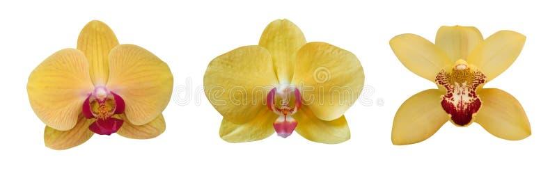 Gelbe Orchidee blüht die Sammlung, die auf weißem Hintergrund, Weg lokalisiert wird lizenzfreie stockfotos