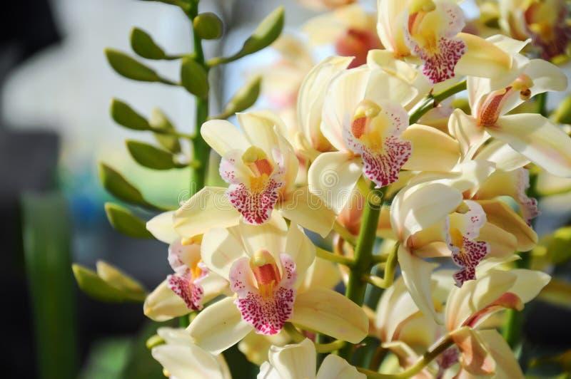 Gelbe Orchidee in der Blüte an Chiangmai-Blumenfestival 2019, Thailand stockfotos