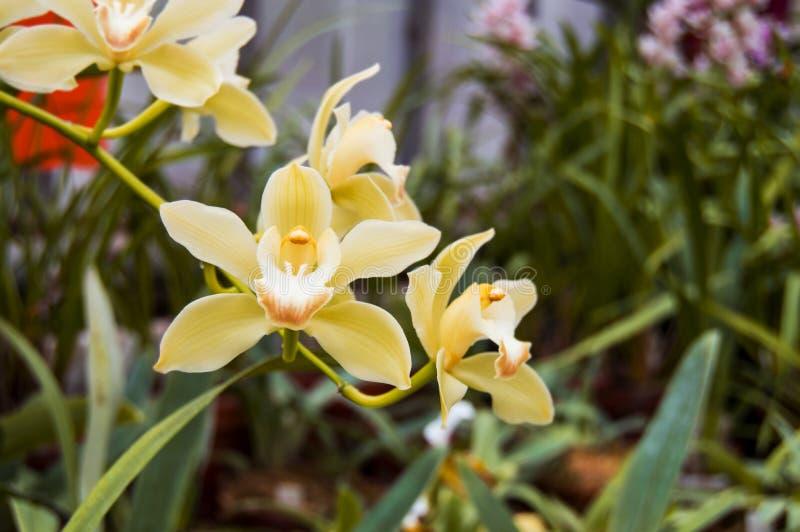 Gelbe Orchidee in der Blüte Orchideenblume Phalaenopsis ist gelb Horizontales Foto von Blumen Botanischer Garten Hintergrund für  stockfoto