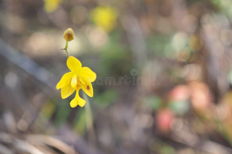 Gelbe Orchidee in der Sommersaison stockfotos