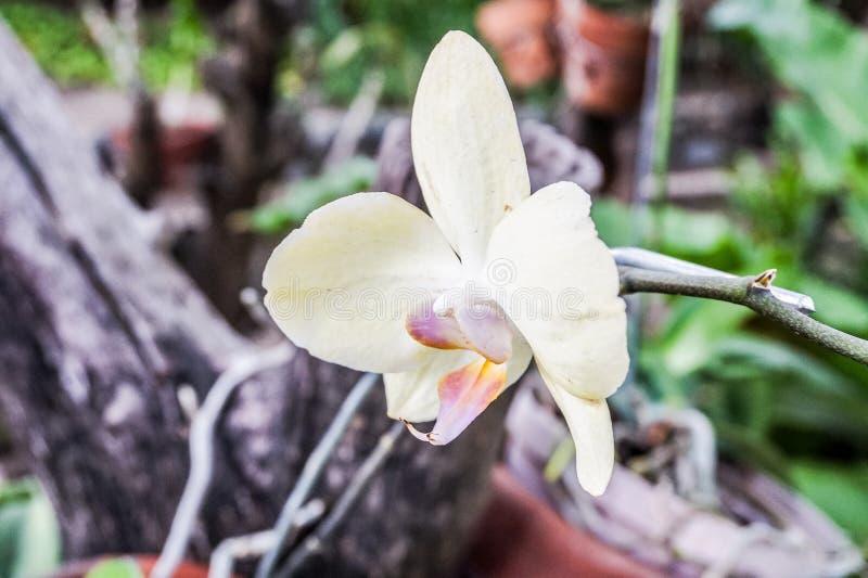 Gelbe Orchideen im Garten stockbild