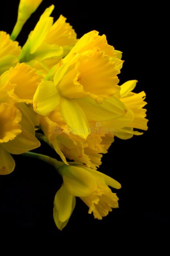 Gelbe paperwhites auf Schwarzem lizenzfreie stockfotos