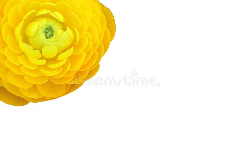 Gelbe persische Butterblume auf weißem Hintergrund stockfotos