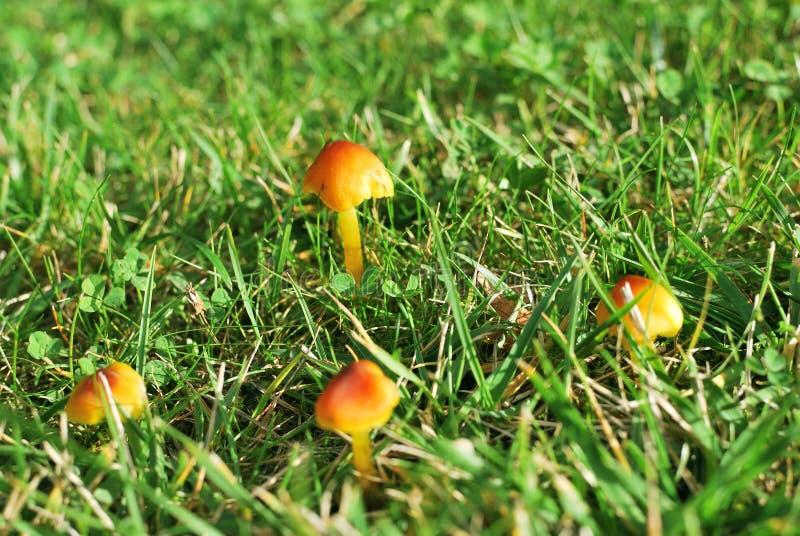 Gelbe Pilze stockfotos