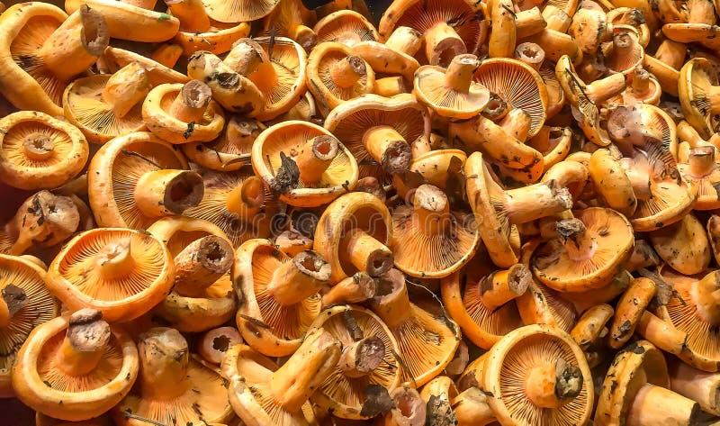 Gelbe Pilze stockbilder