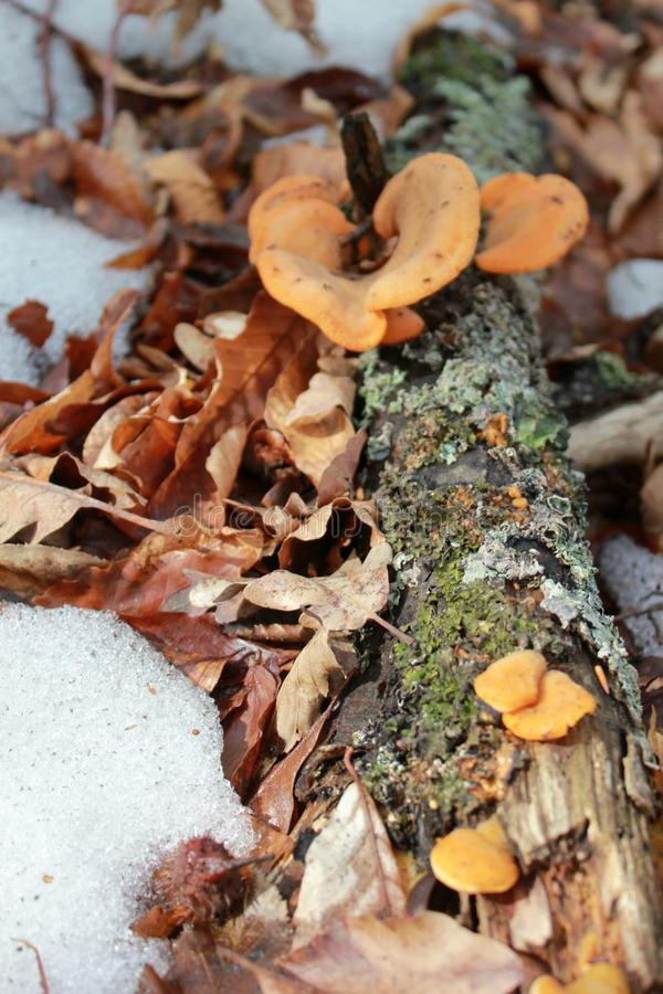 Gelbe Pilze auf einem Baumstamm stockbilder