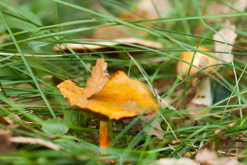 Gelbe Pilze im Gras lizenzfreie stockfotos