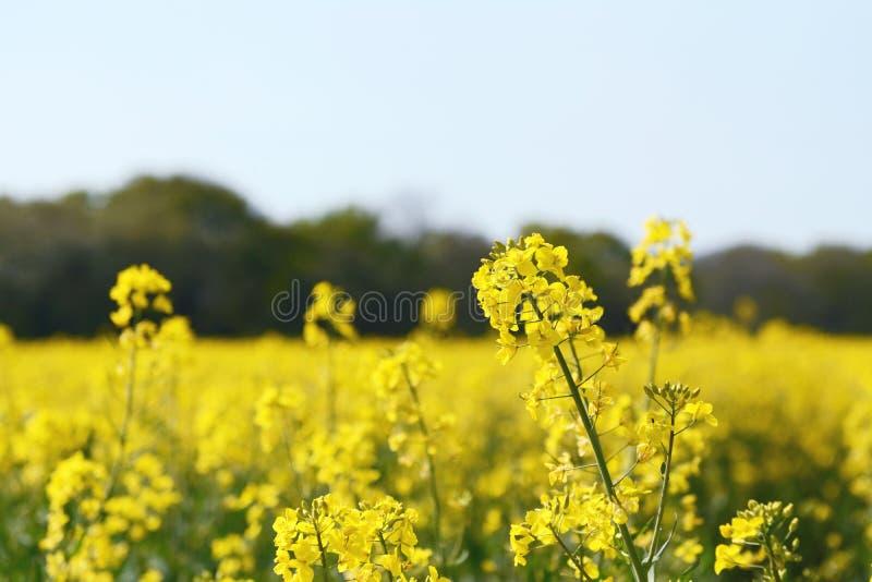Gelbe Rapsblume gegen ein Bauernhoffeld stockfoto