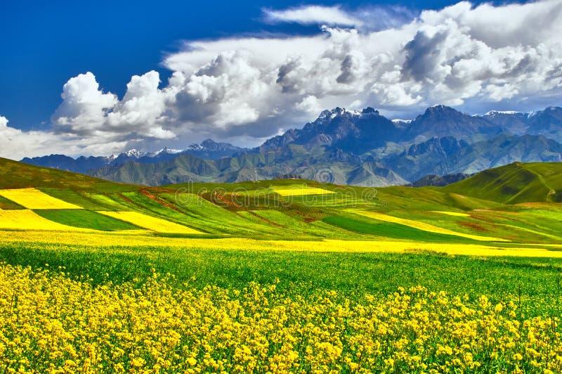 Gelbe Rapsfeldblume lizenzfreie stockfotografie
