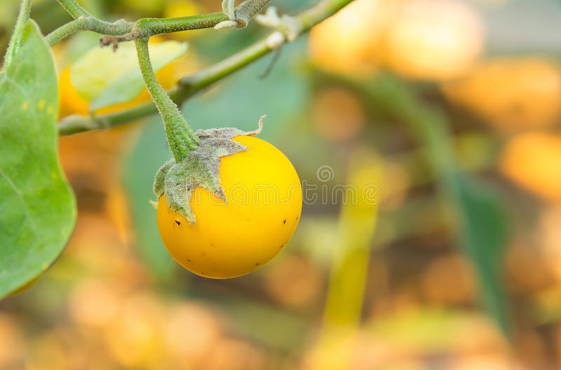 Gelbe reife Aubergine lizenzfreie stockfotos