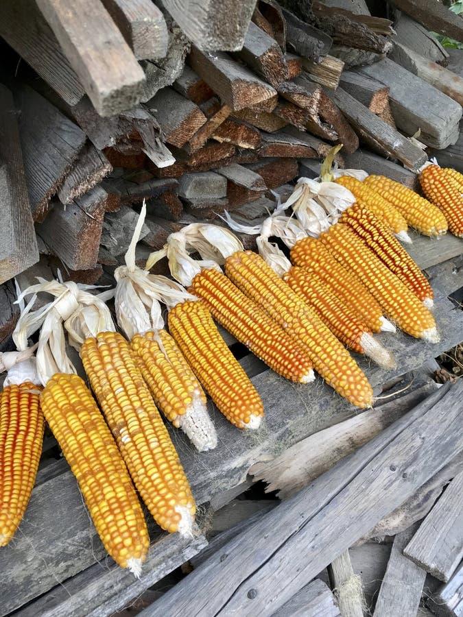 Gelbe reife Maiskolben werden nahe einem Stapel Brennholz getrocknet stockbild