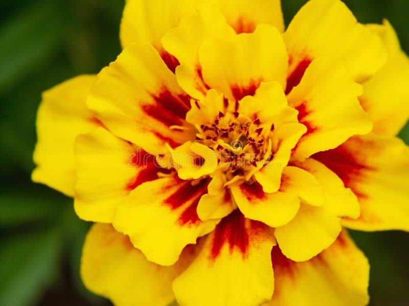 Gelbe Ringelblume in einem Blumenbeet im Garten, Nahaufnahme lizenzfreie stockfotografie