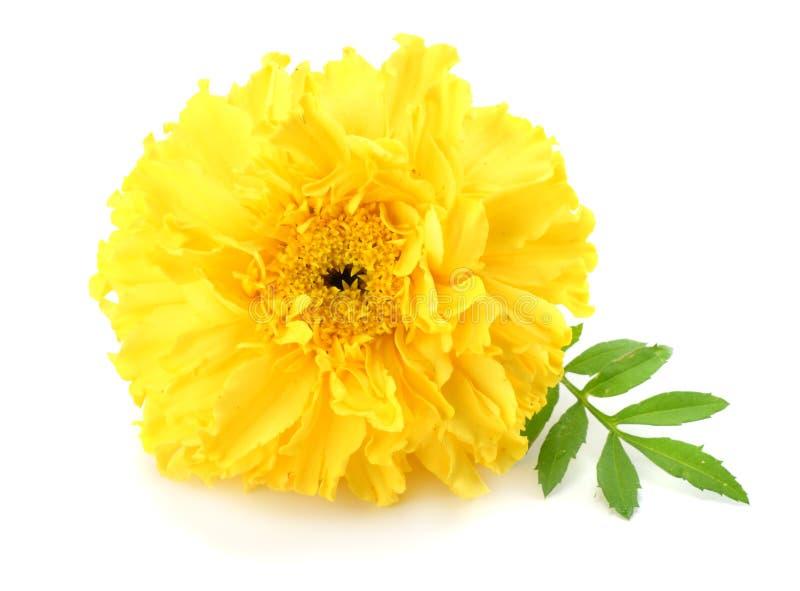 gelbe Ringelblumenblume, Tagetes-erecta, mexikanische Ringelblume, aztekische Ringelblume, afrikanische Ringelblume lokalisiert a lizenzfreies stockbild