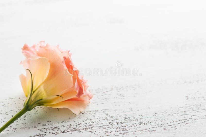 Gelbe rosa Eustomablumennahaufnahme lizenzfreies stockfoto