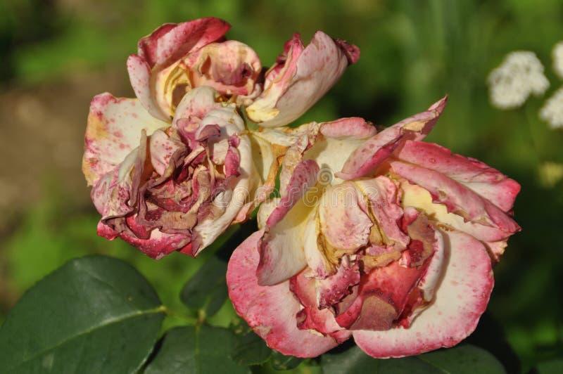 Gelbe rosa Rose stockfoto