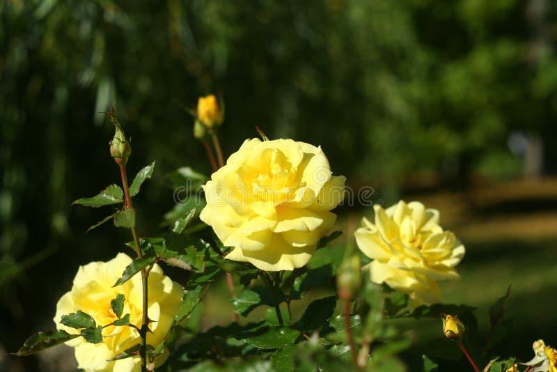 Gelbe rosafarbene Blumen des kleinen Herbstes lizenzfreie stockfotografie