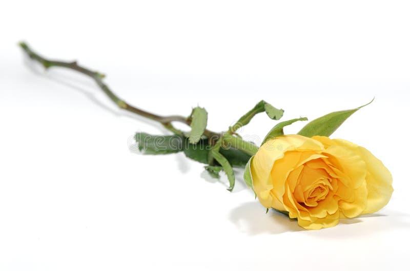 Gelbe Rose lizenzfreies stockfoto