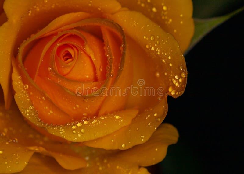 Gelbe Rose mit Regentröpfchen stockfoto